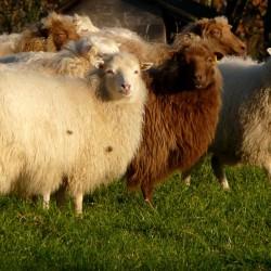 Fotogene Schafe bei bestem Wetter im Dezember