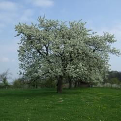 Alte Kirschbäume