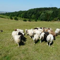 Amy und die Schafe
