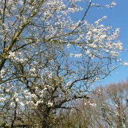 Die Kirschblüte beginnt