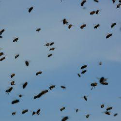 Viele Bienen in der Luft