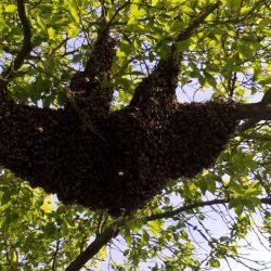Ein Faultier im Pflaumenbaum?