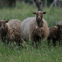 Den Schafen wird langsam warm