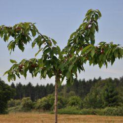 Ein junger Kirschbaum auf dem benachbarten Blühstreifen des BUND