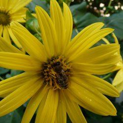 An dieser Becherpflanze wurde die Biene vom Regen überrascht