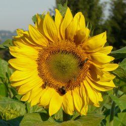 Die Sonnenblume wird von Hummlen, Schwebfliegen und Bienen besucht